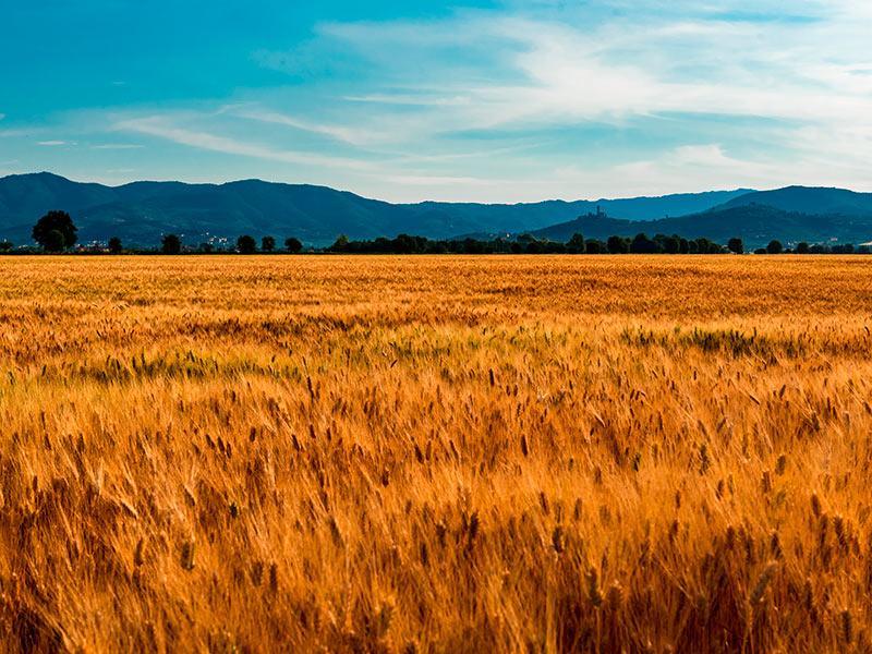 Rappresentazione di coltura poco Idroesigente. Foto del grano nella tenuta di Santa Caterina (Cortona)